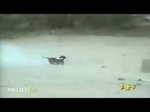 Roman Candle Dog Video