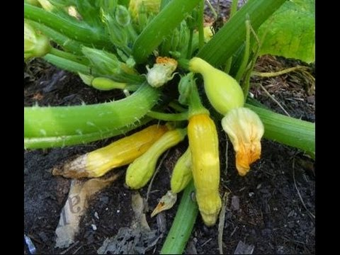 recommended info for squash how to grow