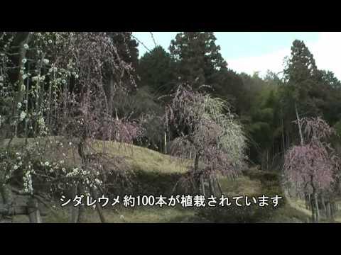 恵那市 「梅露庵公園」 ~シダレウメ~