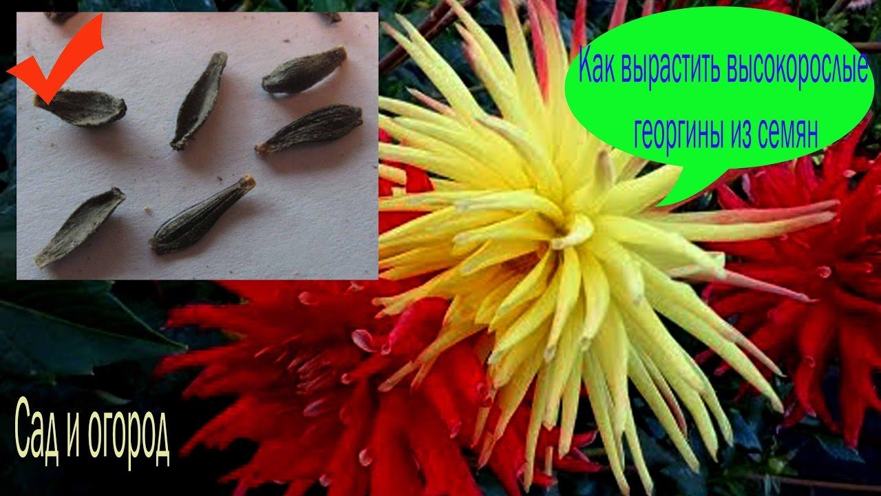 Выращивание георгинов из семян 371