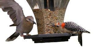 Woodpecker Pecks Dove FYV