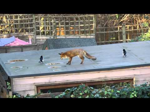 Watch these magpies taunt the fox