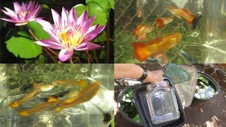 Healthy Guppies, Gouramis and Water Lilies in Absurdly Simple Fish Pond Tubs Explained...