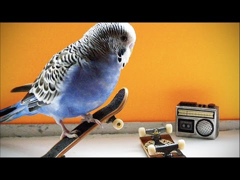 FUNNY PARROTS ★ BEST Talking Parrots in the World (HD) [Funny Pets]