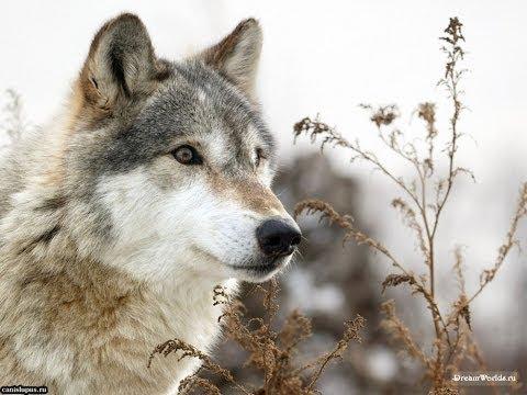 Аквариум, Борис Гребенщиков - Волки и Вороны