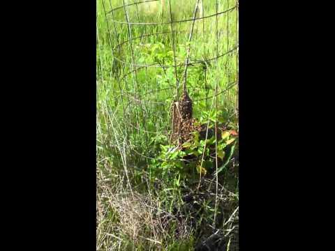 Honey bee swarm on pear tree at Davis Family Farms