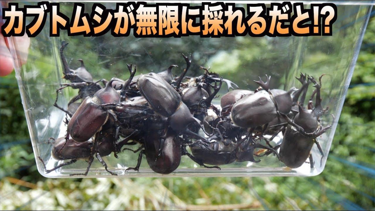 カブトムシの画像 p1_36