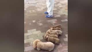 Amateur Video Man Walking Dogs Goes Viral On Chinese Internet VideoMp4Mp3.Com