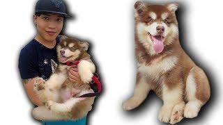 NTN - Cún Con Alaska Về Với Đội NTN Vlogs (Welcome Alaska puppy to ntn team)