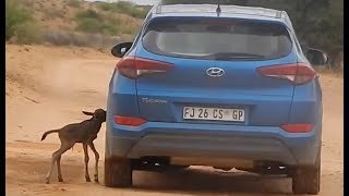 Lost Baby Wildebeest Thinks Car Is His Mom | The Dodo