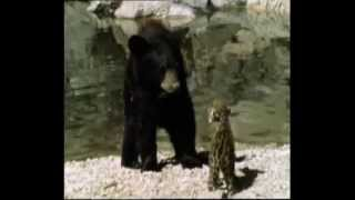 Jaguar Cub Vs Black Bear