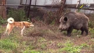 Собака для охоты, притравка лайки по кабану