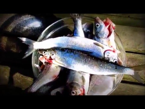 Fishing report - WHITE FISH AVIM Video
