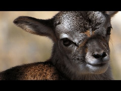 Just born... beautiful baby Mouflon lamb