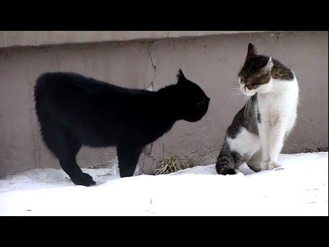 Прикол - дуэль чувашских котов )))