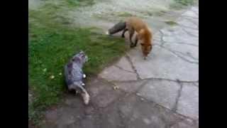 funy Fox VS Adranalin Cat