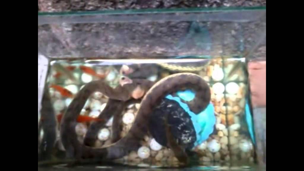 Pet Water Snake Dog Face Water Snake Eating