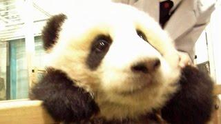 video 生後5ヶ月前後の赤ちゃんパンダです。アドベンチャーワールドで産まれた、愛浜&明浜、梅浜&永浜、海浜&陽浜と優浜です。5 month old panda...