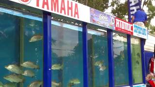 download lagu *barramundi Fishing* Getting A Reaction Bite  The Twitching gratis