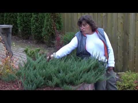 Сорта и виды можжевельника. хвойные растения