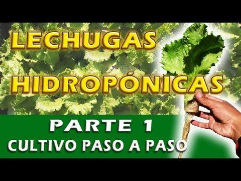 MIS LECHUGAS HIDROPÓNICAS (cultivo paso a paso)