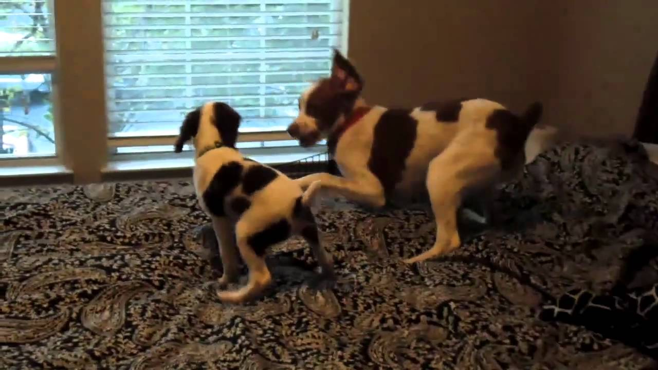 Brittany Spaniels Liver Brittany Spaniel Puppy Play