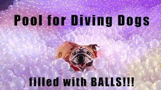 Dogs diving into a pool of balls...ball-pit fanatics!
