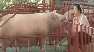 Quảng cáo con lợn cho bé ăn ngon, quảng cáo cám bio zin mới nhất