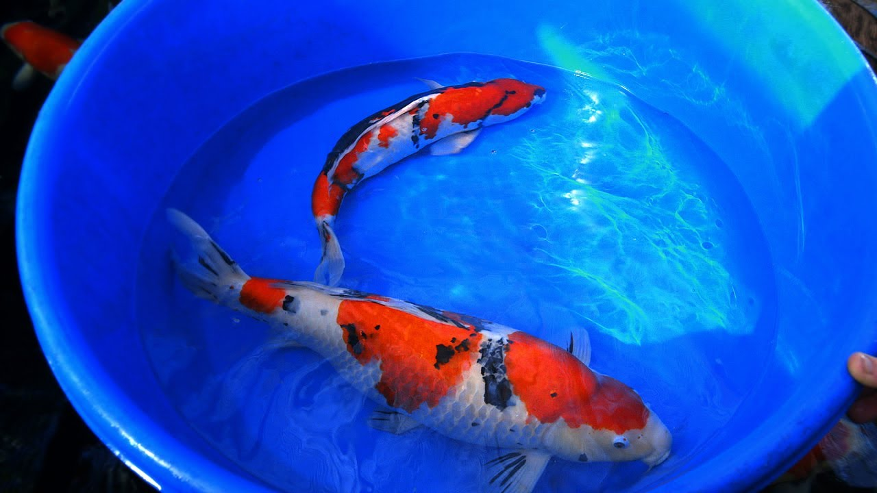 Koi carp male and female fish identification 1 of 3 youtube for Japanese koi names