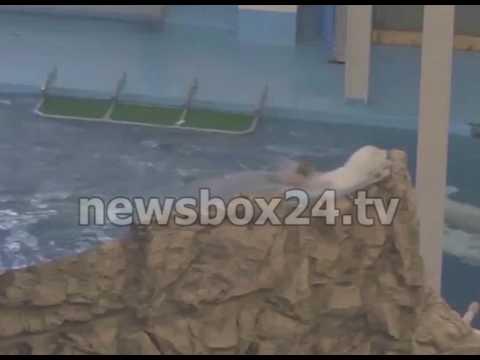 Приморский океанариум прокомментировал видео с купанием женщины в бассейне с белухами. Наше мнение!