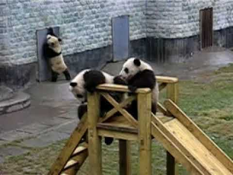 Panda Cubs On A Slide