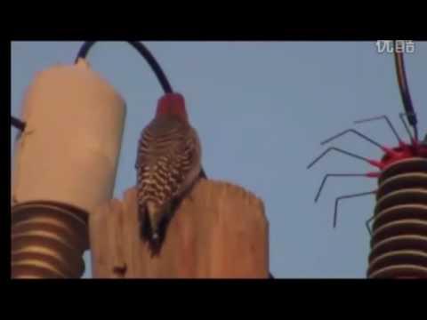啄木鳥被血色月亮