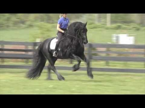 "FRIESIAN STALLION ""Leave you Breathless"""