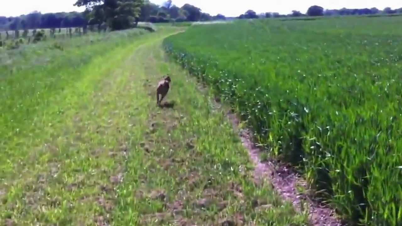 Dog Jumpin through the field