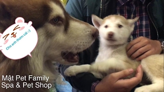 Chó Alaska Mật dê em Husky . Dê quá trời dê ... - Mật Pet Family
