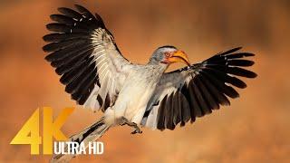 4K 10 bit color Amazing African Birds. Part 3 - African Wildlife Video - 3 HRS Beautiful Bird Sounds