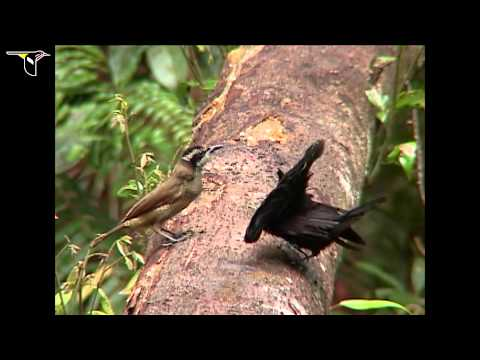 Superb Bird-of-paradise video