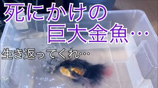 死ぬな!!瀕死の巨大魚 〜死にかけている金魚を救え〜 save the dying giant goldfish