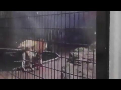 Menino atacado por tigre em zoológico, Criança perde braço após ataque de tigre