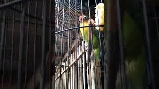 download lagu Lovebird Unyil Ngekek Sbr Bluto Sumenep Madura gratis