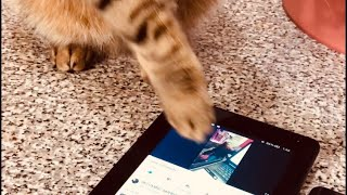 Youtuber Cat / Cat gadget addict