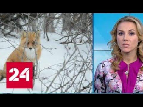 Погода 24: нашествие голодных лис поразило жителей Сахалина - Россия 24