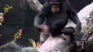 Monkey Smells Finger, Falls Out of Tree