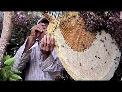 ऐसे निकाला जाता है असली शहद रामदेव पतंजलि में | Patanjali Farming | Harvesting Honey