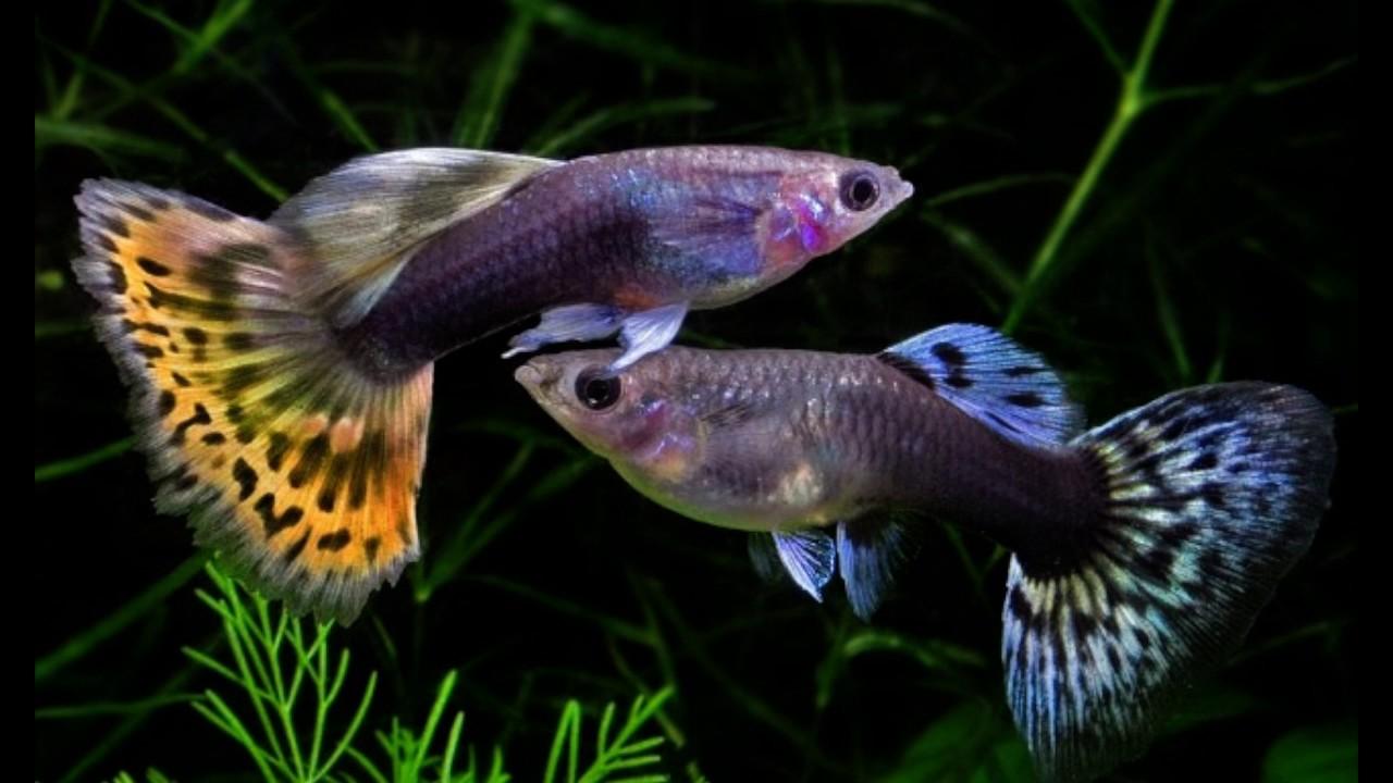 Гуппи самец и самка отличия фото