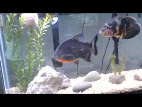 Pacu fish in aquarium