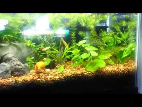 My Cherry Shrimp Mystery Snail Tank