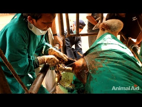 20 kgs (45 pounds) of plastic removed from bull's stomach in India