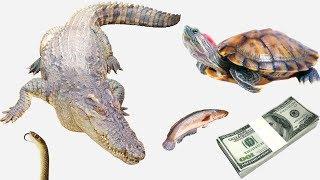 Đi bắt tắc kè để mua thức ăn cho cá sấu, rùa và cái kết 😂
