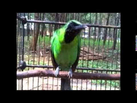 Perawatan Burung Cucak Ijo Untuk Lomba video